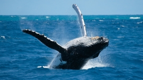 humpback whale hervey bay2
